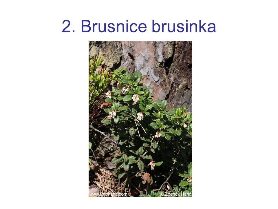 2. Brusnice brusinka