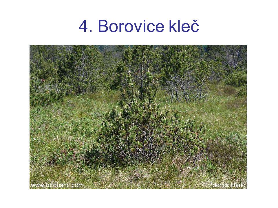 4. Borovice kleč