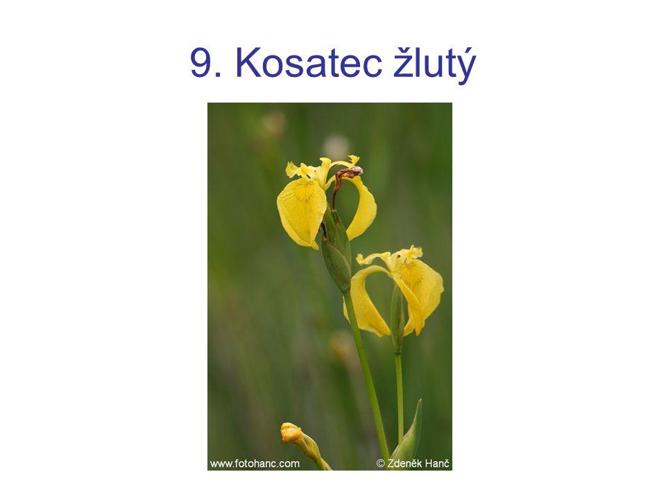 9. Kosatec žlutý