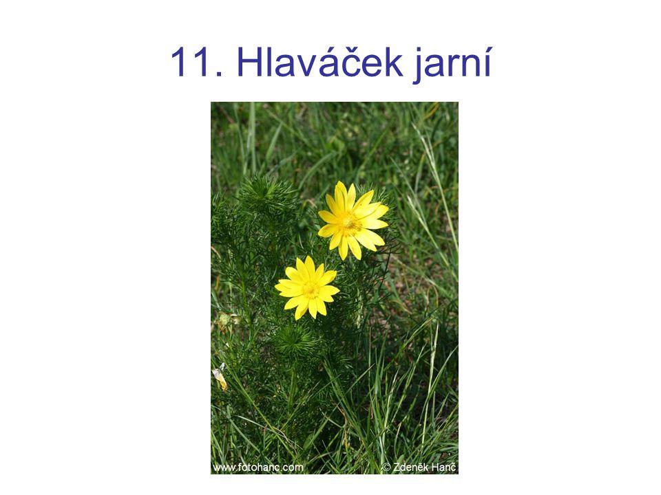 11. Hlaváček jarní
