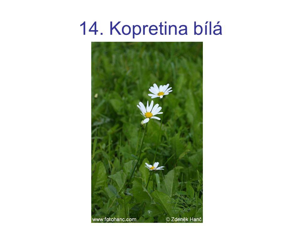 14. Kopretina bílá