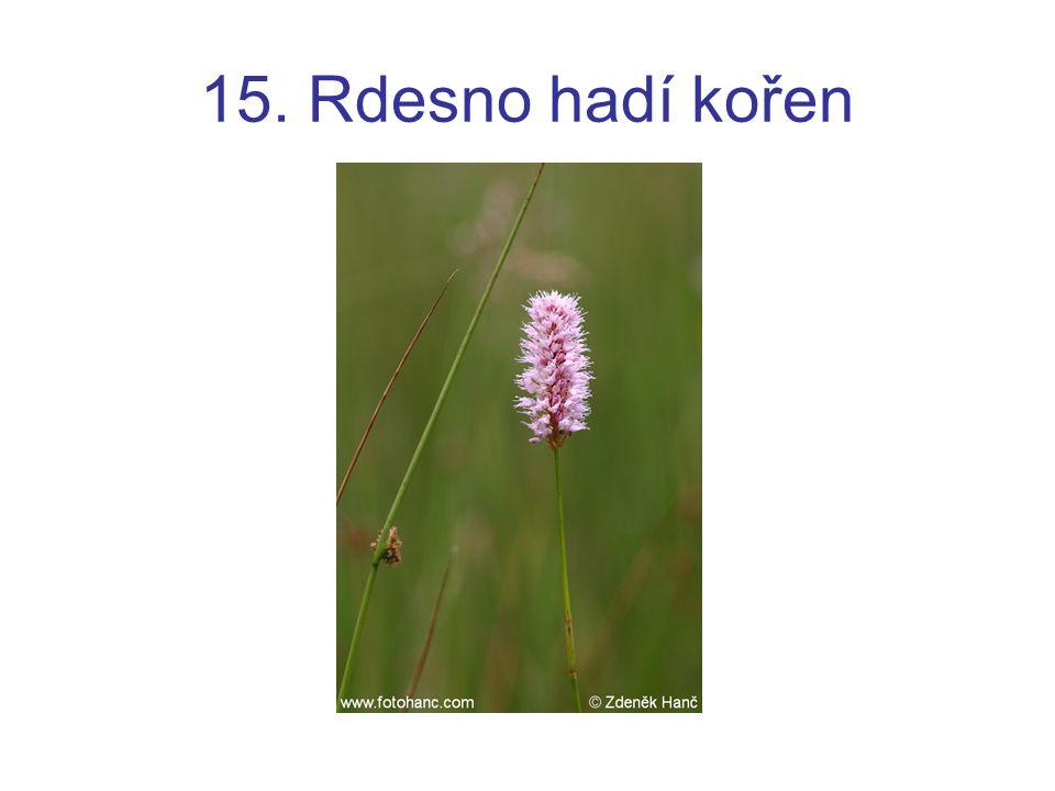15. Rdesno hadí kořen