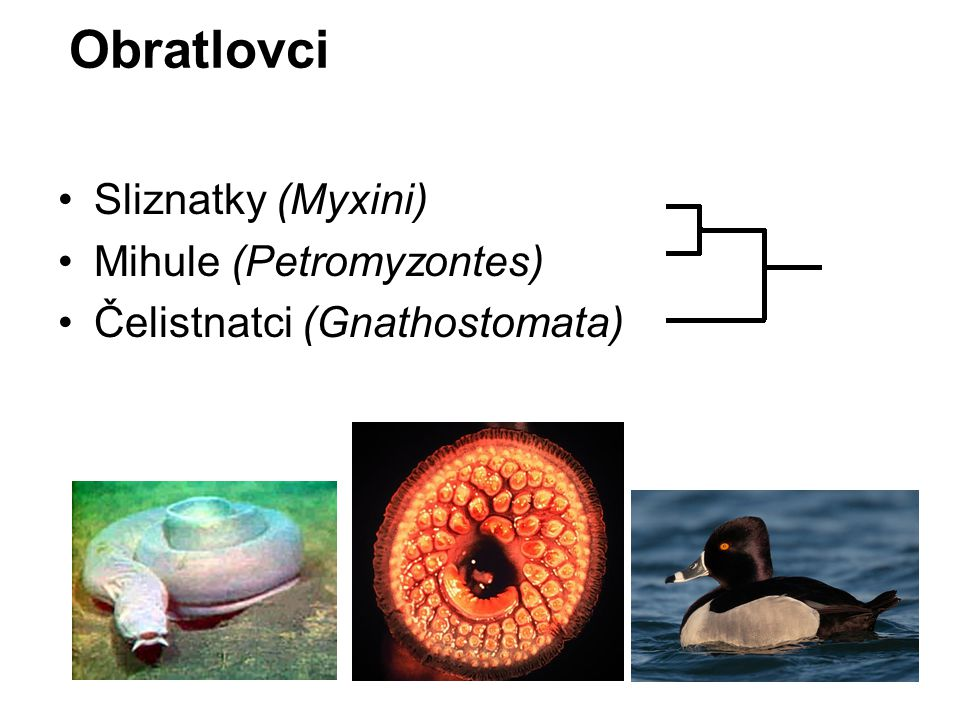 Obratlovci Sliznatky (Myxini) Mihule (Petromyzontes) Čelistnatci (Gnathostomata)