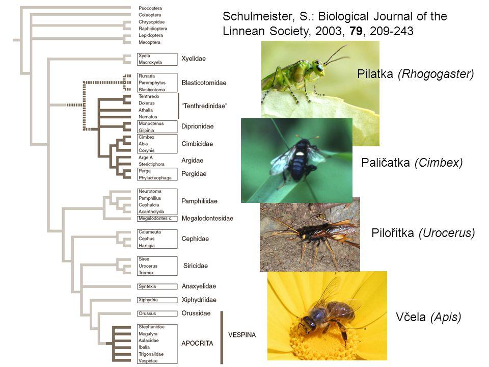 Schulmeister, S.: Biological Journal of the Linnean Society, 2003, 79, 209-243 Pilořitka (Urocerus) Paličatka (Cimbex) Včela (Apis) Pilatka (Rhogogaster)