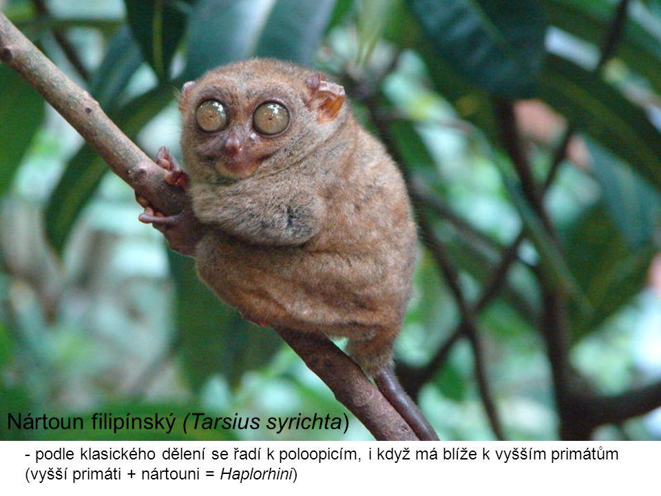 Nártoun filipínský (Tarsius syrichta) - podle klasického dělení se řadí k poloopicím, i když má blíže k vyšším primátům (vyšší primáti + nártouni = Haplorhini)