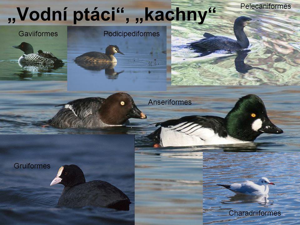 """""""Vodní ptáci , """"kachny GaviiformesPodicipediformes Pelecaniformes Anseriformes Gruiformes Charadriiformes"""