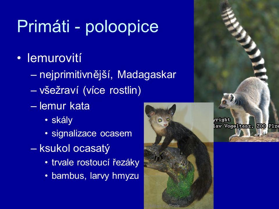 Primáti - poloopice lemurovití –nejprimitivnější, Madagaskar –všežraví (více rostlin) –lemur kata skály signalizace ocasem –ksukol ocasatý trvale rost