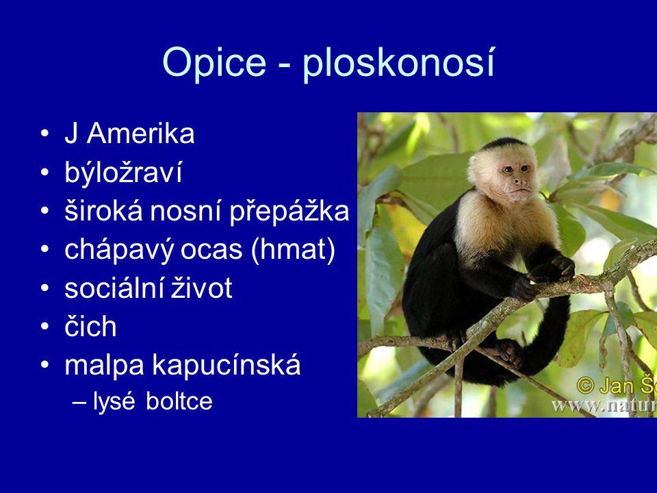 Opice - ploskonosí J Amerika býložraví široká nosní přepážka chápavý ocas (hmat) sociální život čich malpa kapucínská –lysé boltce