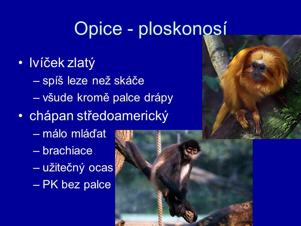 Opice - ploskonosí lvíček zlatý –spíš leze než skáče –všude kromě palce drápy chápan středoamerický –málo mláďat –brachiace –užitečný ocas –PK bez pal