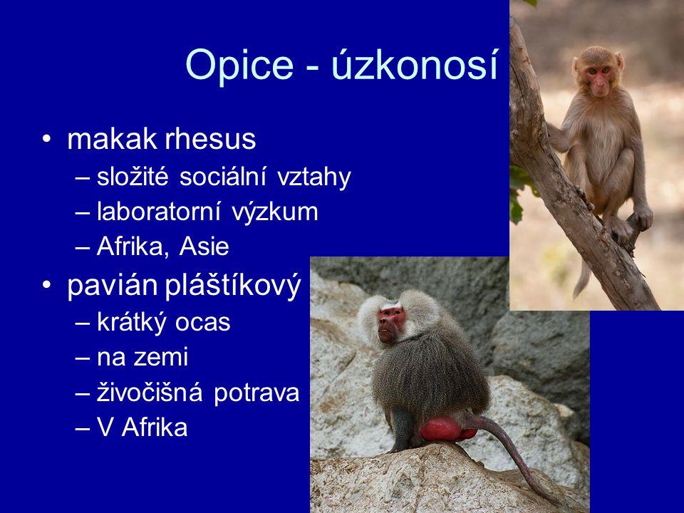 Opice - úzkonosí makak rhesus –složité sociální vztahy –laboratorní výzkum –Afrika, Asie pavián pláštíkový –krátký ocas –na zemi –živočišná potrava –V