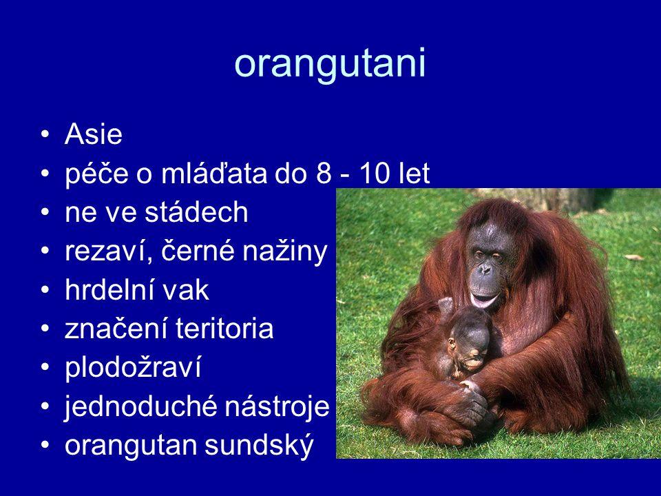 orangutani Asie péče o mláďata do 8 - 10 let ne ve stádech rezaví, černé nažiny hrdelní vak značení teritoria plodožraví jednoduché nástroje orangutan