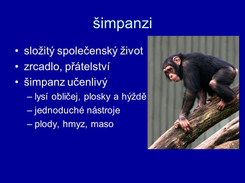 šimpanzi složitý společenský život zrcadlo, přátelství šimpanz učenlivý –lysí obličej, plosky a hýždě –jednoduché nástroje –plody, hmyz, maso