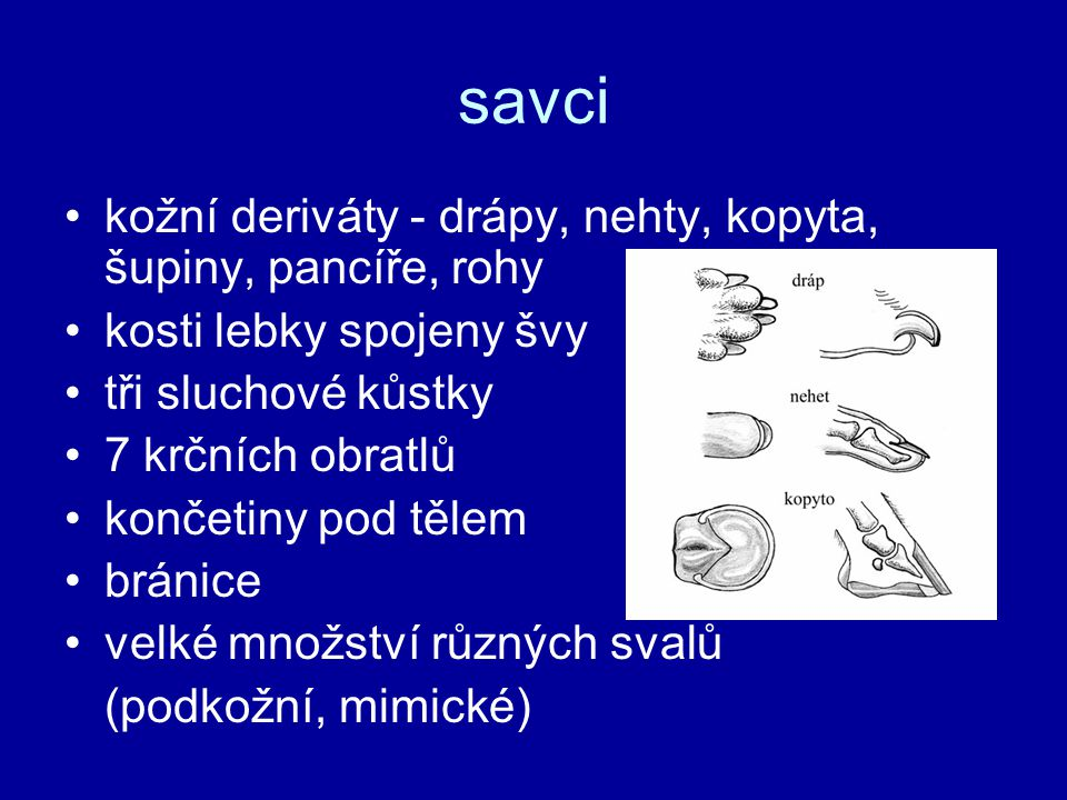 savci kožní deriváty - drápy, nehty, kopyta, šupiny, pancíře, rohy kosti lebky spojeny švy tři sluchové kůstky 7 krčních obratlů končetiny pod tělem b