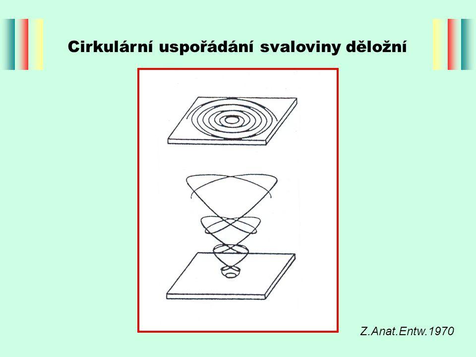 Cirkulární uspořádání svaloviny děložní Z.Anat.Entw.1970