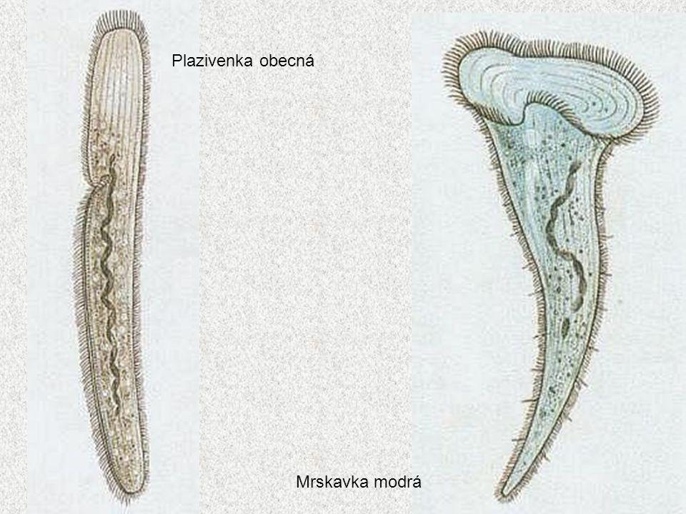 30 Plazivenka obecná Mrskavka modrá