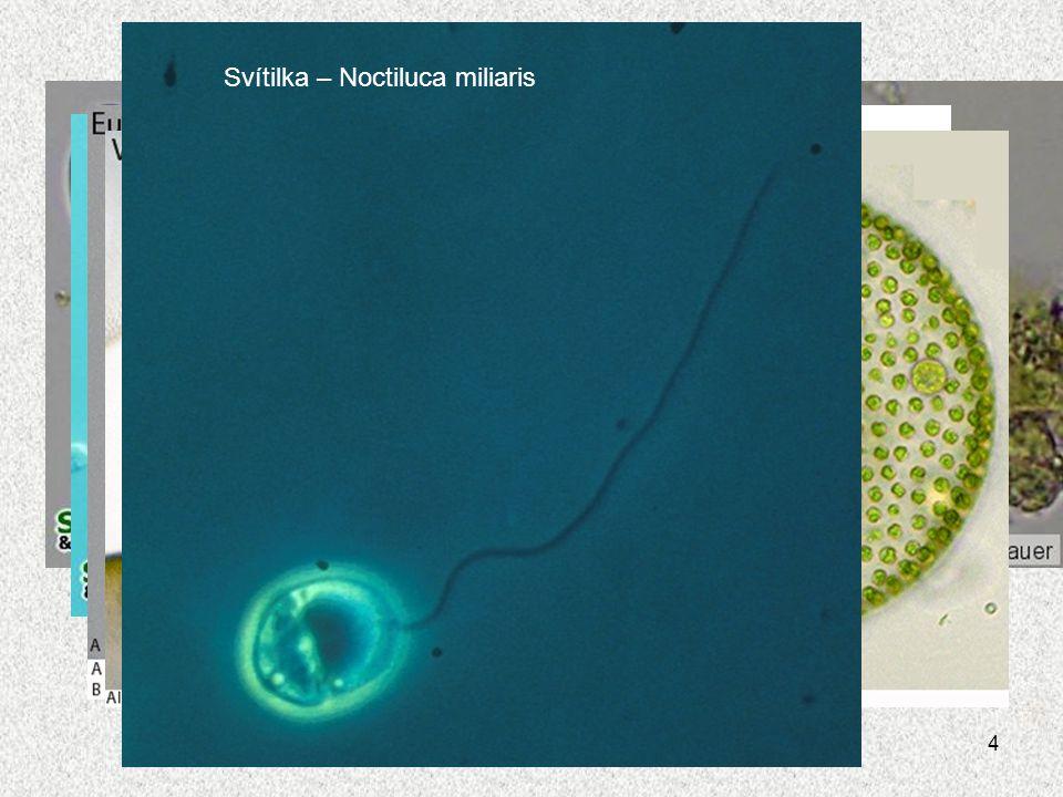 4 Krásnoočko zelené Krásnoočko štíhlé Válenka velká Váleč koulivý Svítilka – Noctiluca miliaris