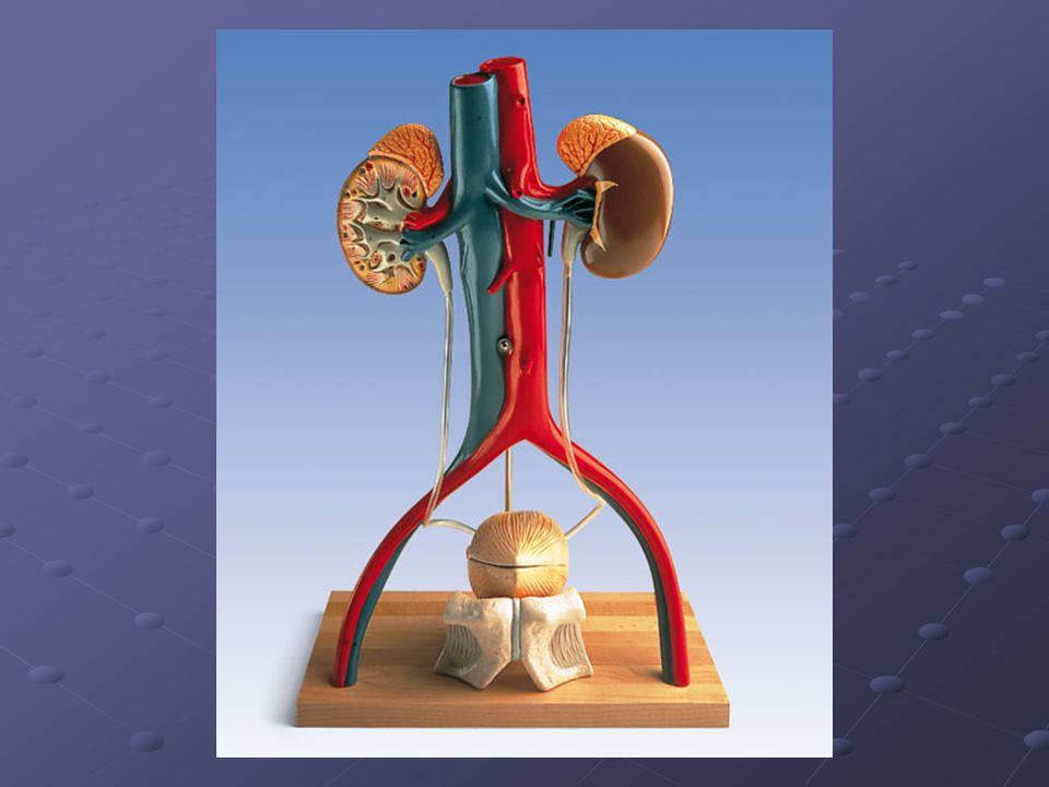 Vylučovací urografie - postup další intervaly dle lékaře (60, 90, 120) další intervaly dle lékaře (60, 90, 120) cílené snímky na močový měchýř cílené snímky na močový měchýř