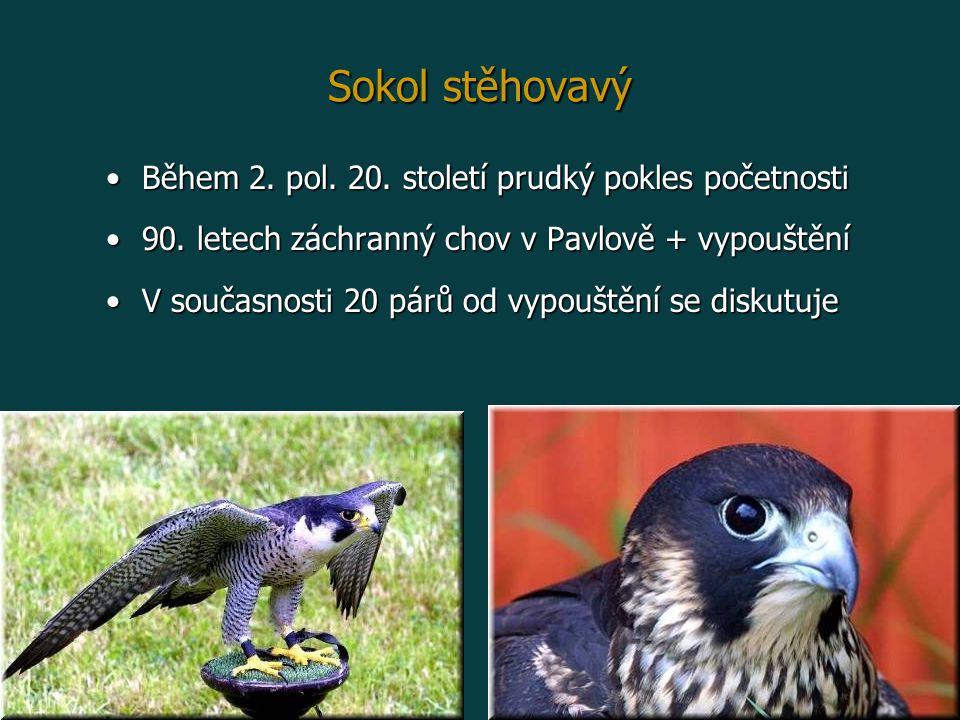 Sokol stěhovavý Během 2.pol. 20. století prudký pokles početnostiBěhem 2.