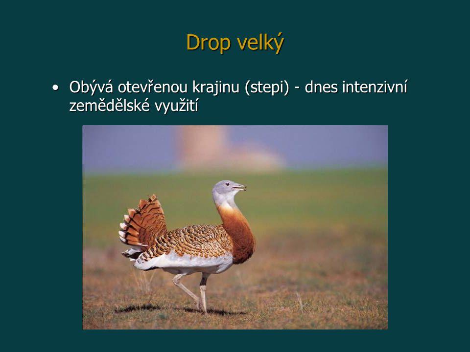Drop velký Obývá otevřenou krajinu (stepi) - dnes intenzivní zemědělské využitíObývá otevřenou krajinu (stepi) - dnes intenzivní zemědělské využití