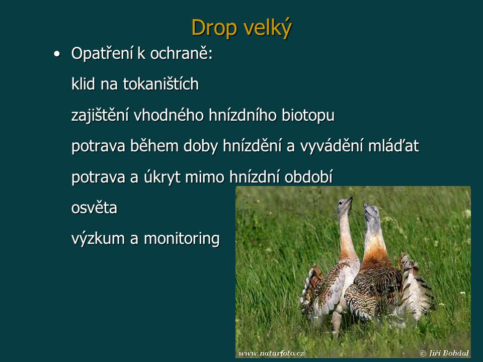 Drop velký Opatření k ochraně:Opatření k ochraně: klid na tokaništích zajištění vhodného hnízdního biotopu potrava během doby hnízdění a vyvádění mláďat potrava a úkryt mimo hnízdní období osvěta výzkum a monitoring