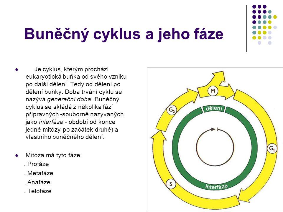 Buněčný cyklus a jeho fáze Je cyklus, kterým prochází eukaryotická buňka od svého vzniku po další dělení.
