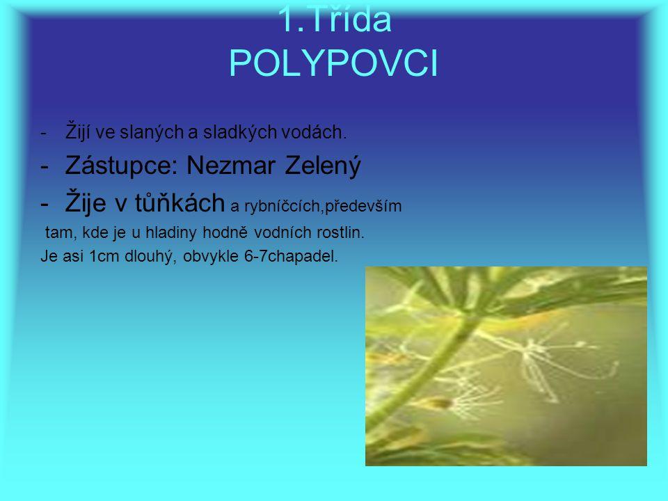 1.Třída POLYPOVCI -Žijí ve slaných a sladkých vodách. -Zástupce: Nezmar Zelený -Žije v tůňkách a rybníčcích,především tam, kde je u hladiny hodně vodn