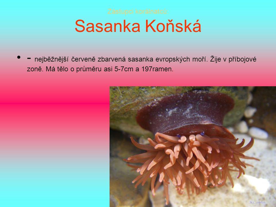 Zástupci korálnatců: Sasanka Koňská - nejběžnější červeně zbarvená sasanka evropských moří. Žije v příbojové zoně. Má tělo o průměru asi 5-7cm a 197ra