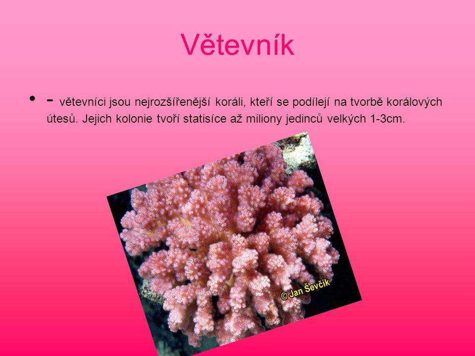Větevník - větevníci jsou nejrozšířenější koráli, kteří se podílejí na tvorbě korálových útesů. Jejich kolonie tvoří statisíce až miliony jedinců velk