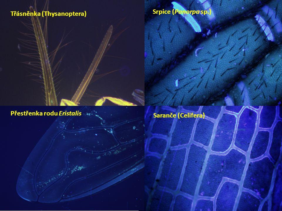 Třásněnka (Thysanoptera) Přestřenka rodu Eristalis Srpice (Panorpa sp.) Saranče (Celifera)
