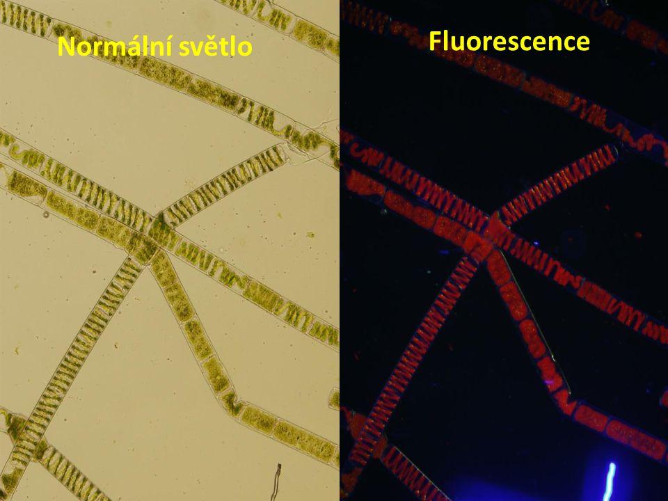 Normální světlo Fluorescence