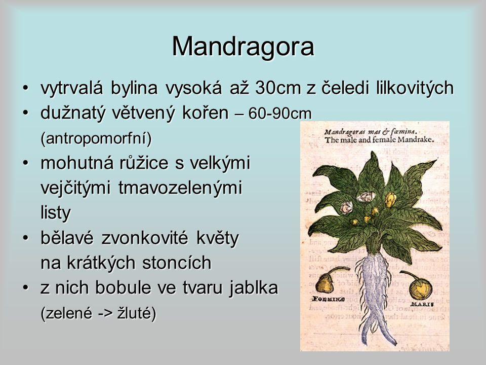 Mandragora vytrvalá bylina vysoká až 30cm z čeledi lilkovitýchvytrvalá bylina vysoká až 30cm z čeledi lilkovitých dužnatý větvený kořen – 60-90cmdužnatý větvený kořen – 60-90cm(antropomorfní) mohutná růžice s velkýmimohutná růžice s velkými vejčitými tmavozelenými listy bělavé zvonkovité květybělavé zvonkovité květy na krátkých stoncích z nich bobule ve tvaru jablkaz nich bobule ve tvaru jablka (zelené -> žluté)