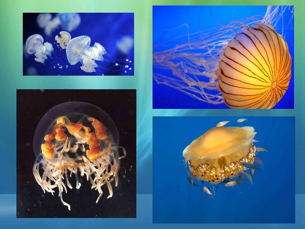 Stavba těla Jediný otvor v medúze jsou ústa.