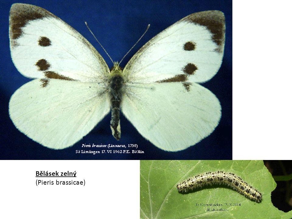 Bělásek zelný (Pieris brassicae)