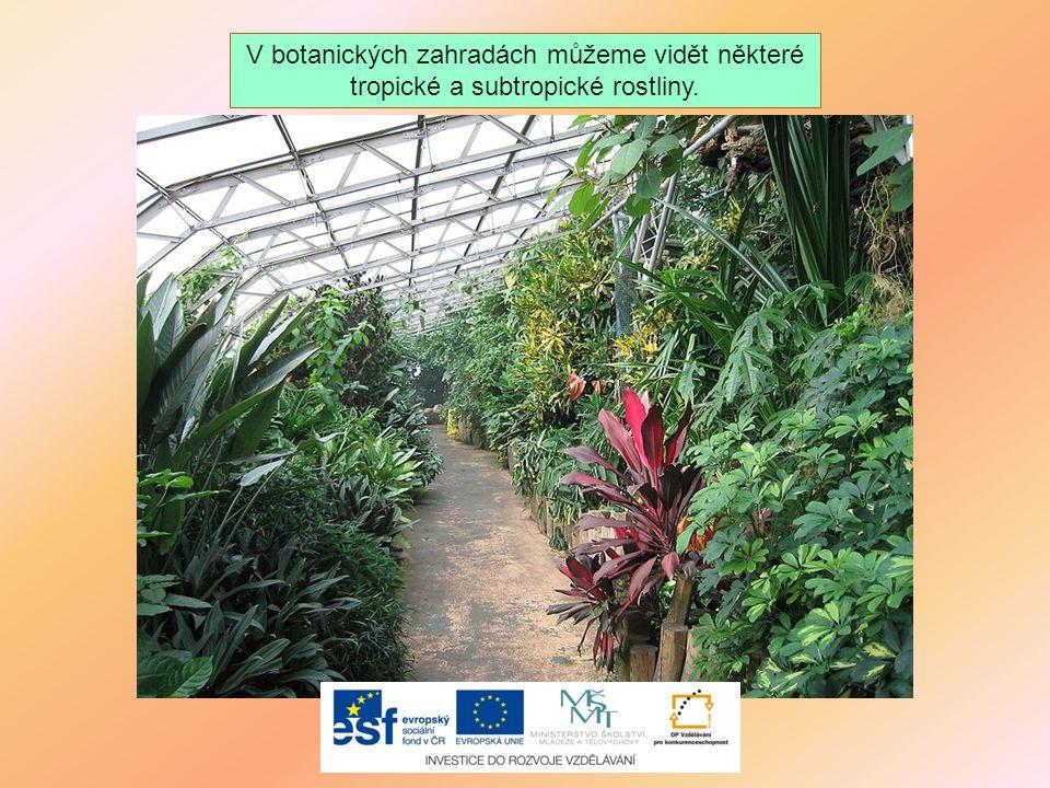 V botanických zahradách můžeme vidět některé tropické a subtropické rostliny.