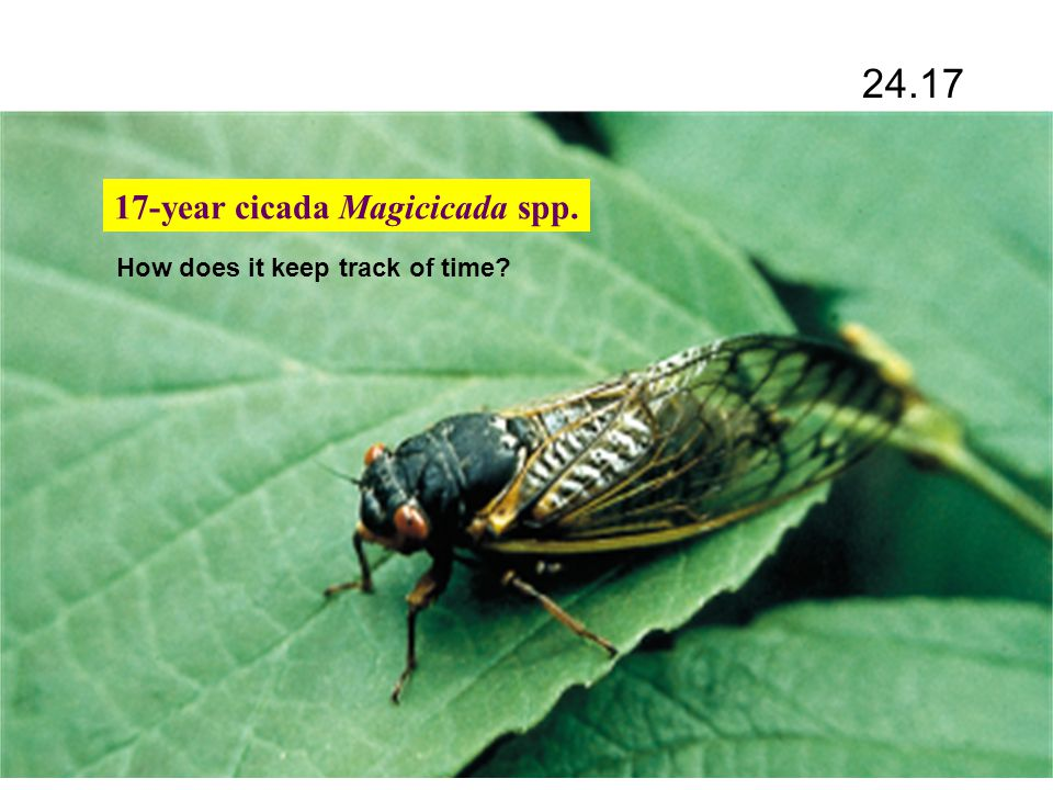 17-year cicada Magicicada spp. How does it keep track of time? 24.17