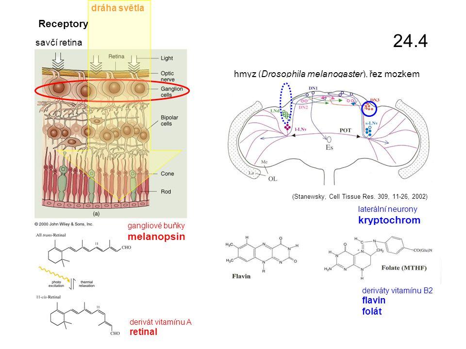Receptory savčí retina gangliové buňky melanopsin hmyz (Drosophila melanogaster), řez mozkem derivát vitamínu A retinal laterální neurony kryptochrom deriváty vitamínu B2 flavin folát (Stanewsky, Cell Tissue Res.