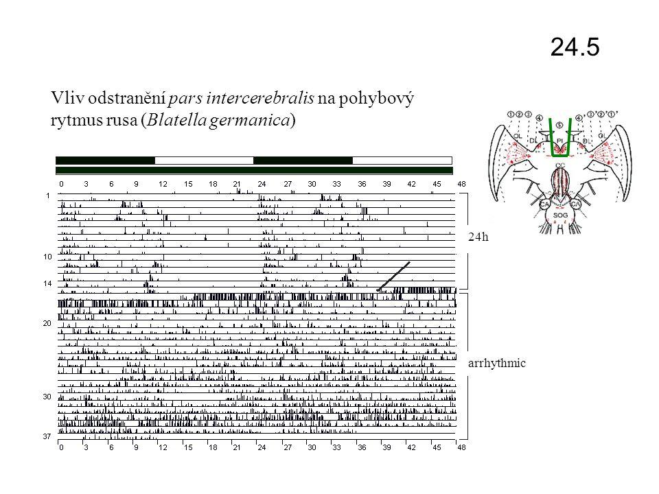 světlo / tma oko suprachiasmatická jádra (SCN) přední mozek mozeček šišinka (pineální žláza) melatonin Centrální cirkadiánní systém – savci percepce světla na retině (melanopsin) vedení vzruchu retino-hypotalamickým traktem (glutamát do SCN – centrálního pacemakeru synchronizace pacemakeru vedení vzruchu multi-synaptickým spojením (norepinefrin) do šišinky vazba na  -adenergní receptory stimulace adenylát cyklázy  cAMP stimulace N-acetyl transferázy biosyntéza melatoninu a jeho sekrece do krevního oběhu vazba melatoninu na receptory mt1 a mt2 v cílových orgánech ovlivnění funkce lokálních (podřízených) oscilátorů cykličnost funkcí 24.6