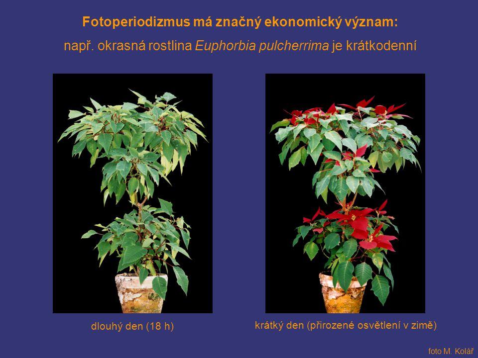 Fotoperiodizmus má značný ekonomický význam: např. okrasná rostlina Euphorbia pulcherrima je krátkodenní krátký den (přirozené osvětlení v zimě) dlouh