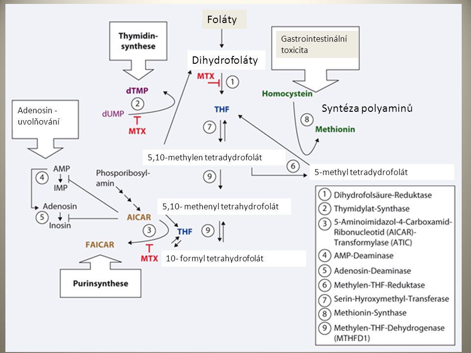 Foláty Gastrointestinální toxicita Dihydrofoláty Adenosin - uvolňování 5,10-methylen tetradydrofolát 5,10- methenyl tetrahydrofolát 10- formyl tetrahydrofolát 5-methyl tetradydrofolát Syntéza polyaminů
