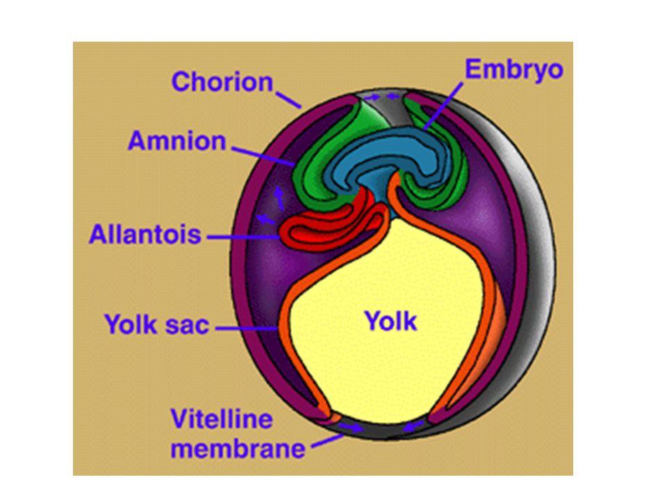Základem placenty je tzv.