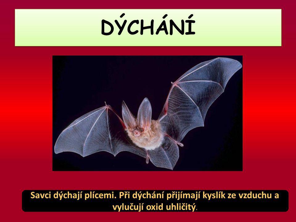 DÝCHÁNÍ Savci dýchají plícemi. Při dýchání přijímají kyslík ze vzduchu a vylučují oxid uhličitý.