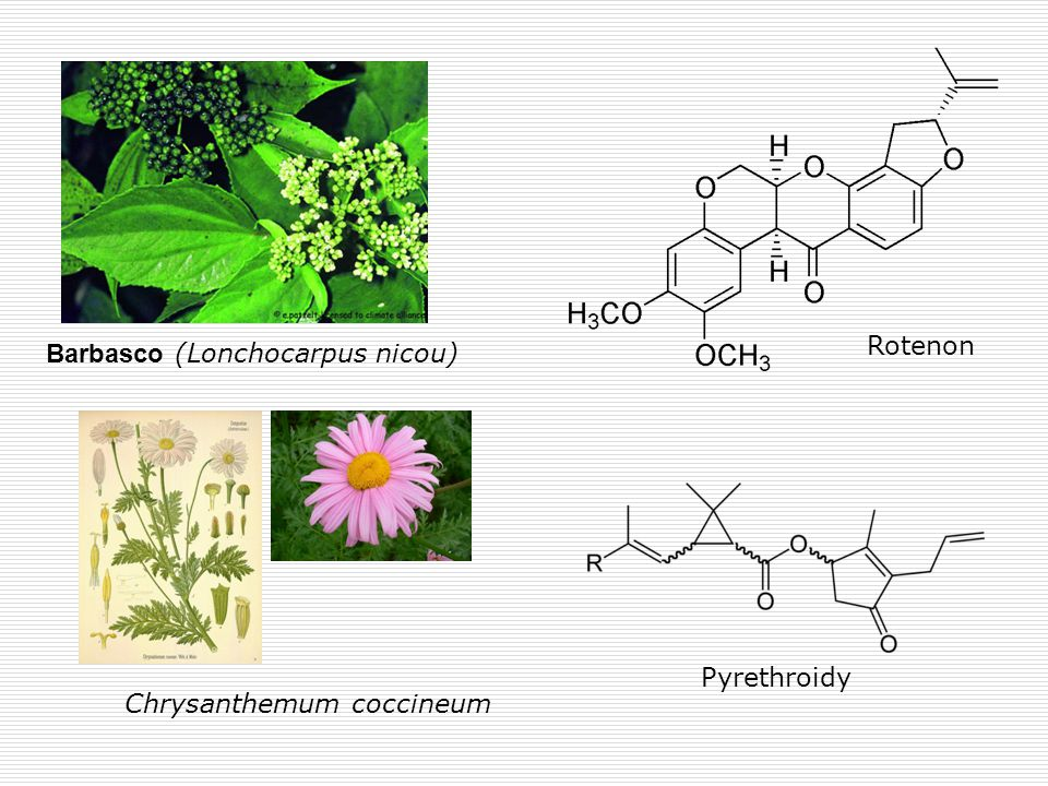 Rotenon Barbasco (Lonchocarpus nicou) Pyrethroidy Chrysanthemum coccineum