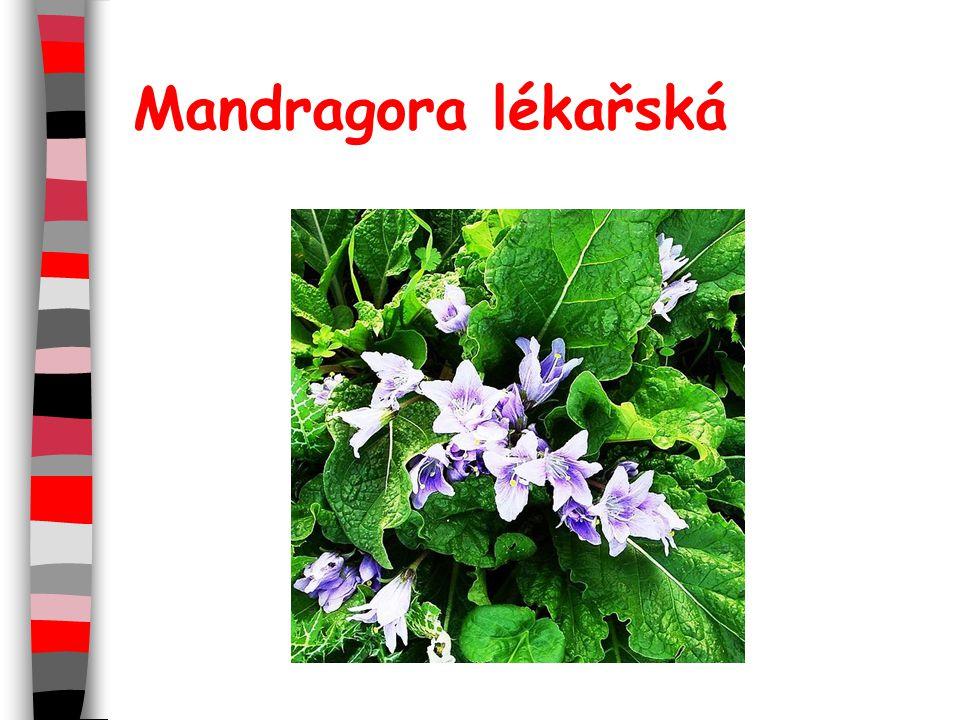 Mandragora lékařská