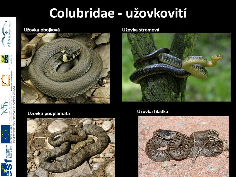 Colubridae - užovkovití Užovka obojková Užovka podplamatá Užovka stromová Užovka hladká