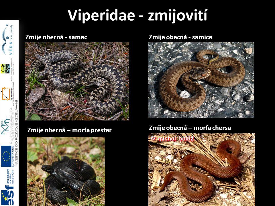 Zmije obecná - samec Viperidae - zmijovití Zmije obecná – morfa chersa Zmije obecná - samice Zmije obecná – morfa prester
