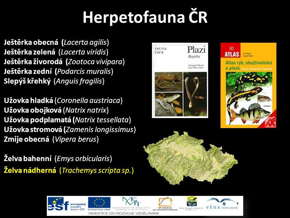 Ještěrka obecná (Lacerta agilis) Ještěrka zelená (Lacerta viridis) Ještěrka živorodá (Zootoca vivipara) Ještěrka zední (Podarcis muralis) Slepýš křehký (Anguis fragilis) Užovka hladká (Coronella austriaca) Užovka obojková (Natrix natrix) Užovka podplamatá (Natrix tessellata) Užovka stromová (Zamenis longissimus) Zmije obecná (Vipera berus) Želva bahenní (Emys orbicularis) Herpetofauna ČR Želva nádherná (Trachemys scripta sp.)