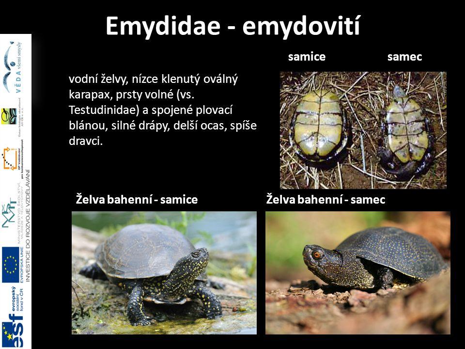 Emydidae - emydovití vodní želvy, nízce klenutý oválný karapax, prsty volné (vs.