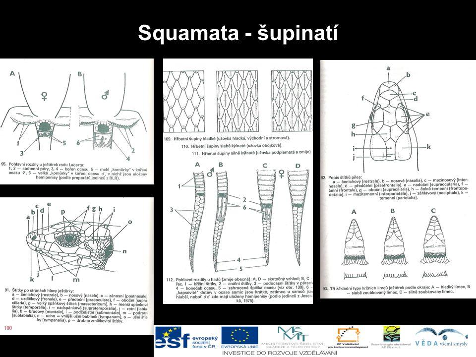 Squamata - šupinatí