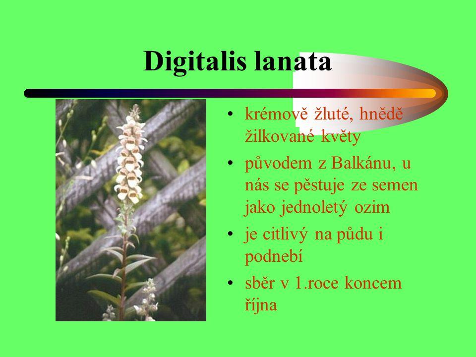 Digitalis lanata krémově žluté, hnědě žilkované květy původem z Balkánu, u nás se pěstuje ze semen jako jednoletý ozim je citlivý na půdu i podnebí sb