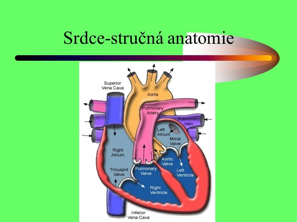 Srdce-stručná anatomie